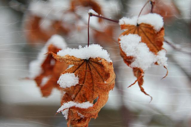 brown leaves, blowing, snowflakes