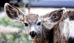 mule deer, doe, ears
