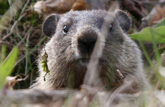 predicting spring, groundhog