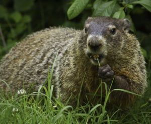 groundhog, predicting spring